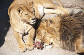 Lions whith meat — 图库照片