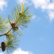 Pine tree — Stock Photo #5826521
