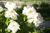 Bush flowers — Stock Photo