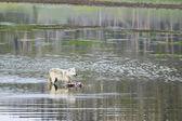 Gray Wolf feeding — Stock Photo