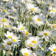 Stock Photo: Daisy's in Field