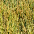 Stock Photo: Reeds on Lake