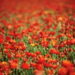 Red Ranunculus Flowers in Field - Stock Photo