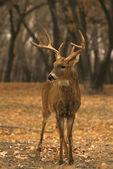 Nice Whitetail Buck — Stock Photo