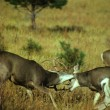 Mule Deer Bucks Fighting — Stock Photo #5806174