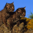 Stock Photo: Baby Bobcats on Rock