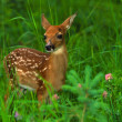 Whitetail Deer Fawn — Stock Photo #5808026