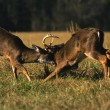 Whitetail Deer Bucks Fighting — Stock Photo #5808112