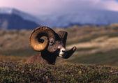 Bighorn Sheep Ram Bedded — Stock Photo