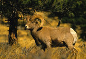 Bighorn Sheep Ram — Photo