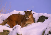 Mountain Lion in Snow Covered Rocks — Stock Photo