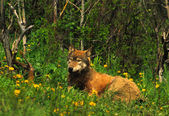 Wolf Bedded in grass — Foto Stock