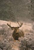 Mule Deer Buck rutting in snowstorm — Stock Photo