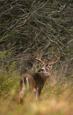 Trophy Whitetail Buck — Stock Photo