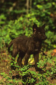 Cute Wolf Pup — Stock Photo