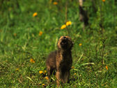 Howling Wolf Pup — Stock Photo