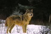 Wolf im schnee — Stockfoto