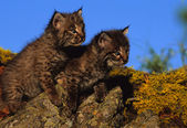 Baby Bobcats on Rock — Stock Photo