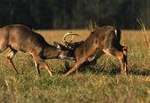Whitetail Deer Bucks Fighting — Stock Photo