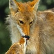 Female Coyote Kissing Her Young Pup — Stock Photo