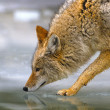 Stock Photo: Coyote Hunting