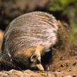 Stock Photo: Badger Digging at its Den