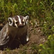 Stock Photo: Badger at its Den