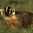 Badger on the Prairie — Foto Stock
