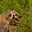 Badger Snarling — Stock Photo