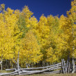 Aspens in Fall - Stock Photo