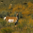 Pronghorn Antelope Doe - Stock Photo
