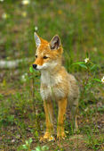 Cute Coyote Pup — Stock Photo