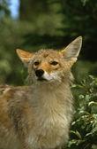 Portrait de coyote — Photo