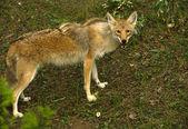 Curioso coyote — Foto de Stock