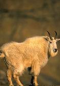 Mountain Goat on Rock — Stock Photo
