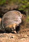 Badger Digging at its Den — Stock Photo