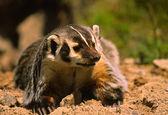 Badger Snarling — Stock Photo
