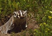 Badger at its Den — Stock Photo
