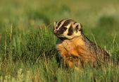 Badger on the Prairie — Stock Photo