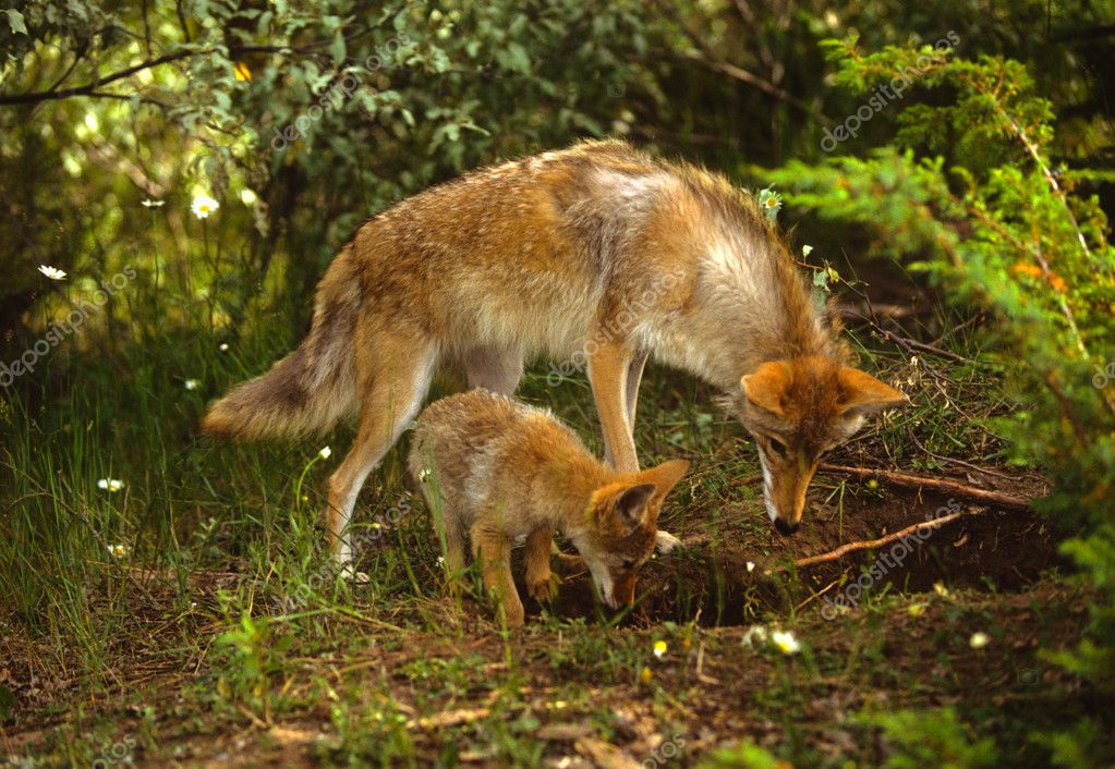 Coyote teaching