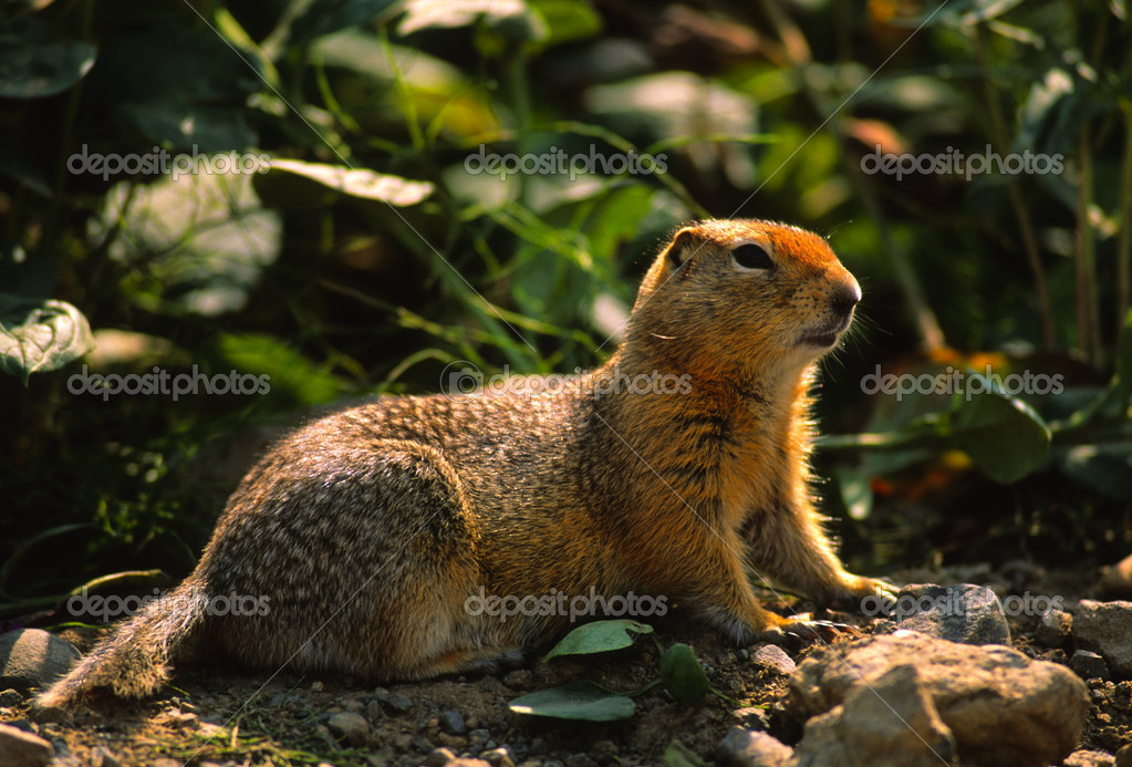 GOPHER — Stock Photo #5816264