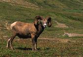 Ovce tlustorohá ram — Stock fotografie
