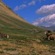Bighorn Sheep Rams Bedded — ストック写真
