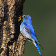 Stock Photo: Male Mountain Bluebird