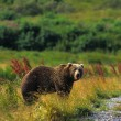 Stock Photo: Kodiak Brown Bear