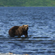 Kodiak Brown Bear — Stock Photo #5842995
