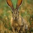 Cottontail Rabbit in Grass — Stock Photo