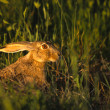 Cottontail Rabbit in Grass — Stock Photo #5843143