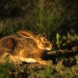 Cottontail Rabbit in Grass — Stock Photo #5843155