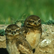 Baby burrowing Owls — Stock Photo